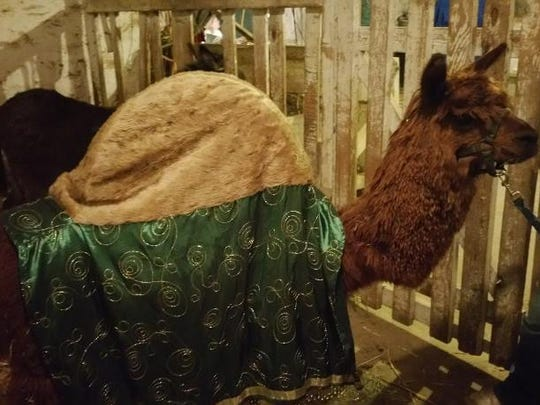 A llama doubles as a camel for the Live Christmas Nativity.