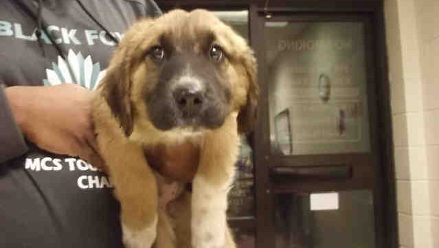 Olympias is a 13-week-old spayed female tricolor Saint Bernard and Great Pyrenees, ID A150951.