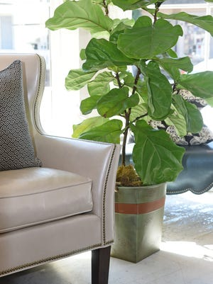 Popular in many homes is the Fiddle Leaf Fig. Caring for one is easy. They need bright, indirect light. Water it when the top inch of soil is dry and fertilize once a month.