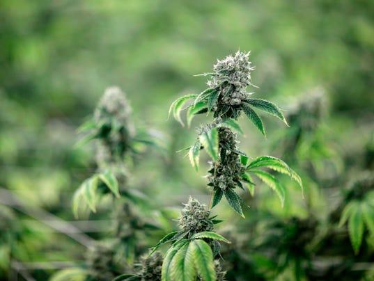 #stockphoto marijuana