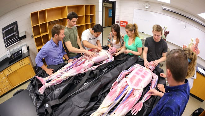 University of Northern Iowa students make use of synthetic cadavers — called SynDavers — recently purchased by the UNI Biology Department for use in anatomy classes. The university purchased four of the realistic dissection tools through a $150,000 grant from the Roy J. Carver Charitable Trust.