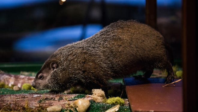 Woodchucks tend to eat during the early morning and the evening.
