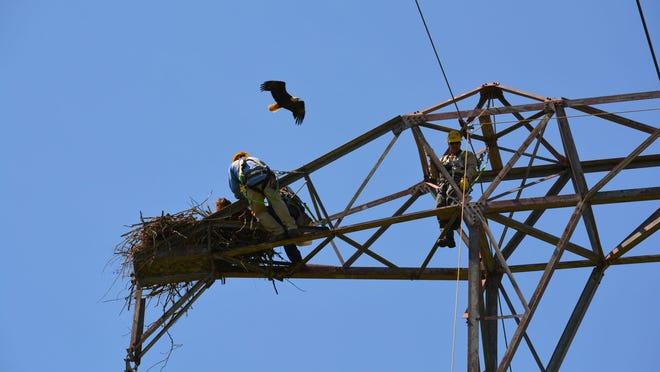 Two bald eaglets have been located high atop a PSE&G tower in Somerset County.