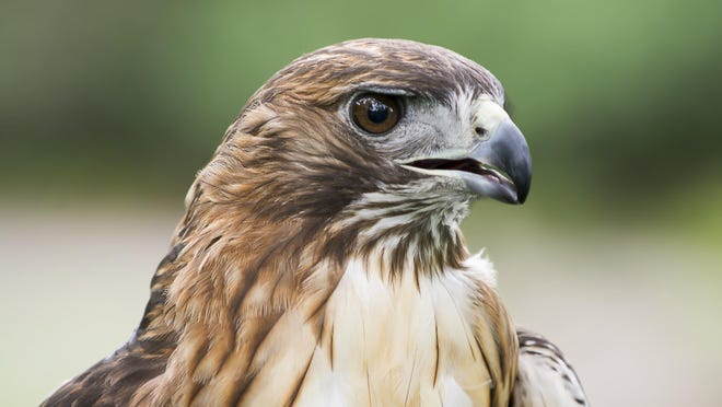 You won't see red-tailed hawks in your yard—but you will hear their cry in movie sound effects.