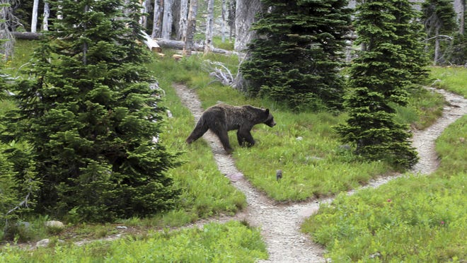 FILE - In this Aug. 3, 2014, file photo, a grizzly bear crosses through a back country campsite in Montana's Glacier National Park. Grizzly bears continue to expand their range amid an ongoing effort to turn over management of the bears from the U.S. Fish and Wildlife Service to the states of Wyoming, Montana and Idaho, a federal official said, in late March 2017. (Doug Kelley/The Spokesman-Review via AP)