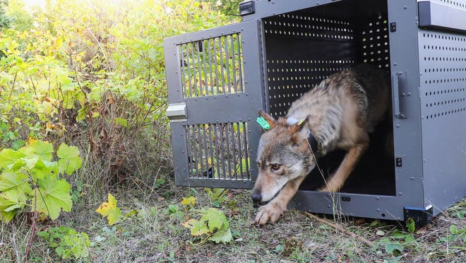 """This Sept. 26, 2018, photo provided by the National Park Service shows a 4-year-old female gray wolf emerging from her cage at Isle Royale National Park in Michigan. The park service said Friday night that another female died """"despite the best efforts of the attending veterinarians"""" after being trapped, sedated and flown to a holding facility for a medical exam."""