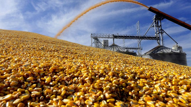 In this Sept. 23, 2015, file photo, a central Illinois farmers deposit harvested corn outside a full grain elevator Virginia, Ill. The government shutdown could complicate things for farmers lining up for federal payments to ease the burden of President Donald Trump's trade war with China. The USDA last week assured farmers that direct payments would keep going out during the first week of the shutdown. But payments will soon be suspended for farmers who haven't certified production. Farm loans and disaster assistance programs will also be on hold.