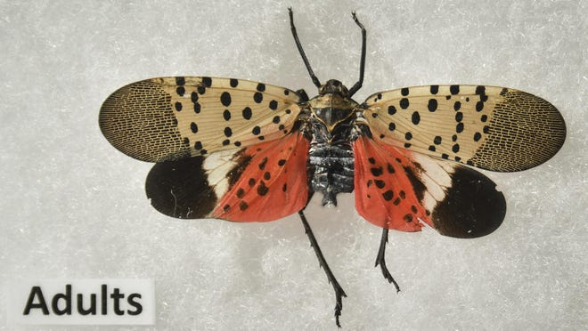 An adult spotted lanternfly at Michigan State University. The insects, native to southeast Asia, are moving across the East Coast.