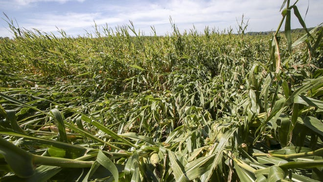 Damaged corn is seen near Mount Vernon, Iowa on Thursday, Aug. 20, 2020. About a third of Iowa's corn crop was destroyed in the derecho that produced 140 mph winds throughout central Iowa on Monday, Aug. 10, 2020.