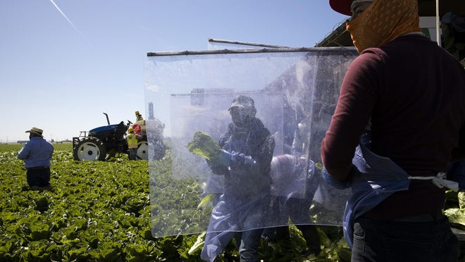 Farm laborers from Fresh Harvest working with an H-2A visa harvest romaine lettuce on a machine with heavy plastic dividers that separate workers from each other on April 27, 2020 in Greenfield, California. Fresh Harvest is the one of the largest employers of people using the H-2A temporary agricultural worker visa for labor, harvesting and staffing in the United States. The company is implementing strict health and safety initiatives for their workers during the coronavirus pandemic and are trying a number of new techniques to enhance safety in the field as well as in work accommodations.