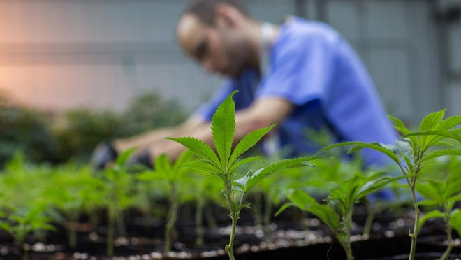 Grower James Walker tends to newly transplanted cannabis at PharmaCann LLC, a medical marijuana cultivation center in Illinois.
