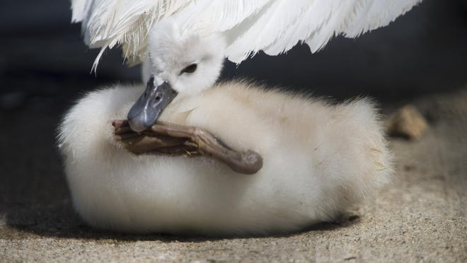 A cygnet, or baby swan, grooms under the shadow of its parent at Nicholas Conservatory & Gardens on Saturday in Rockford.