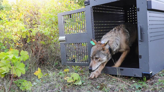 FILE - In this Sept. 26, 2018, file photo, provided by the National Park Service, a 4-year-old female gray wolf emerges from her cage as it is released at Isle Royale National Park in Michigan. Michigan's gray wolves appear to have stabilized at a healthy level three decades after beginning a remarkable comeback in the Upper Peninsula, wildlife officials said Monday, July 27, 2020. The latest biennial survey conducted this winter estimated the predator species' population at 695, divided among 143 packs, according to the state Department of Natural Resources. Michigan's Isle Royale National Park has additional wolves that are not included in the state survey.
