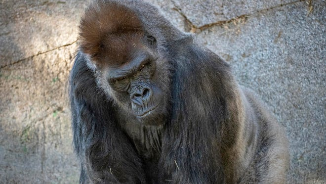 Winston, a silverback gorilla at the San Diego Zoo, is expected to make a full recovery weeks after testing positive for the coronavirus and receiving an antibody treatment.