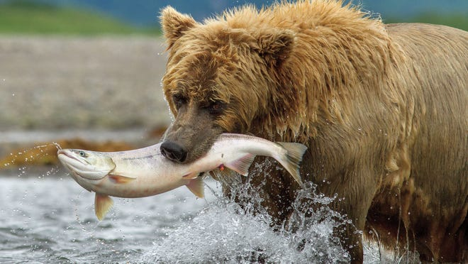 "A bear named Chinook grabs a little snack in the new movie ""Bears.""<137> (AP Photo/Disney, Oliver Scholey)<137>"