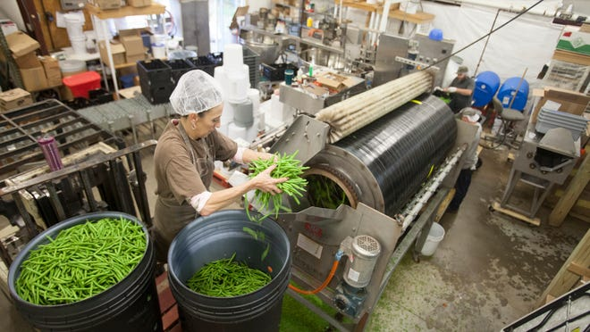 KHI Foods worker Cindy Campbell feeds green beans into a processor that snips the ends. Its the first step in preparing for blanching and freezing the product.