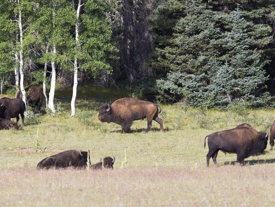 North Rim bison