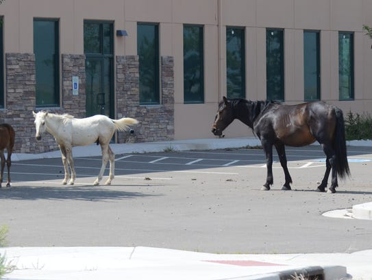 wild horses in Fernley 2