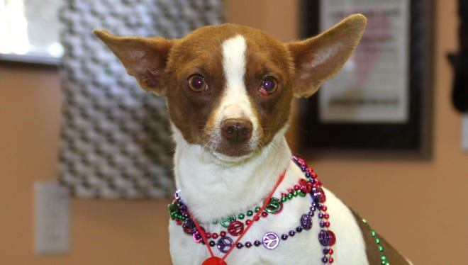 Crinkles is a favorite at the Deming Animal Shelter. He is prepping for the Woofstock Cash Party - an evening of peace, music and petrs on Saturday, March 10 at the Mimbres Valley Special Events Center.