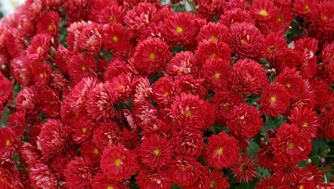 Belgian mums come in early mid and late season and offer an array of exciting colors like this Pobo Red.