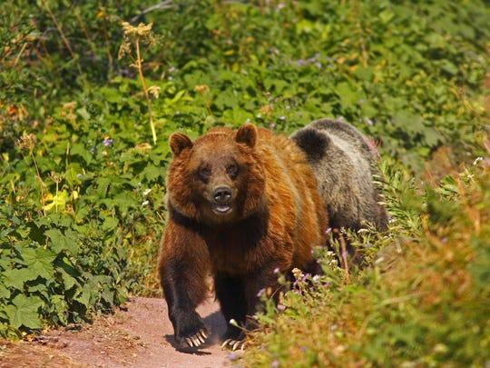 Bear FAL 0717 Book Hiking Bear Country