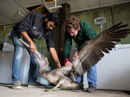 Marcuse Pacheco (left) and Andrew Orgill (right) check a brown pelican at the Amos Rehabilitation Keep on Friday, Jan. 5, 2017 as animals are brought back to the facility for the first time since Hurricane Harvey.