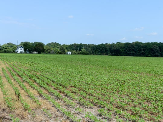 Soybeans sprout on farm fields in Hebron, Maryland