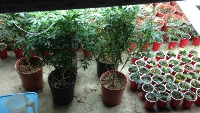 According to the Tennessee Bureau of Investigation, 224 marijuana plants were recovered Wednesday in Lewis County.