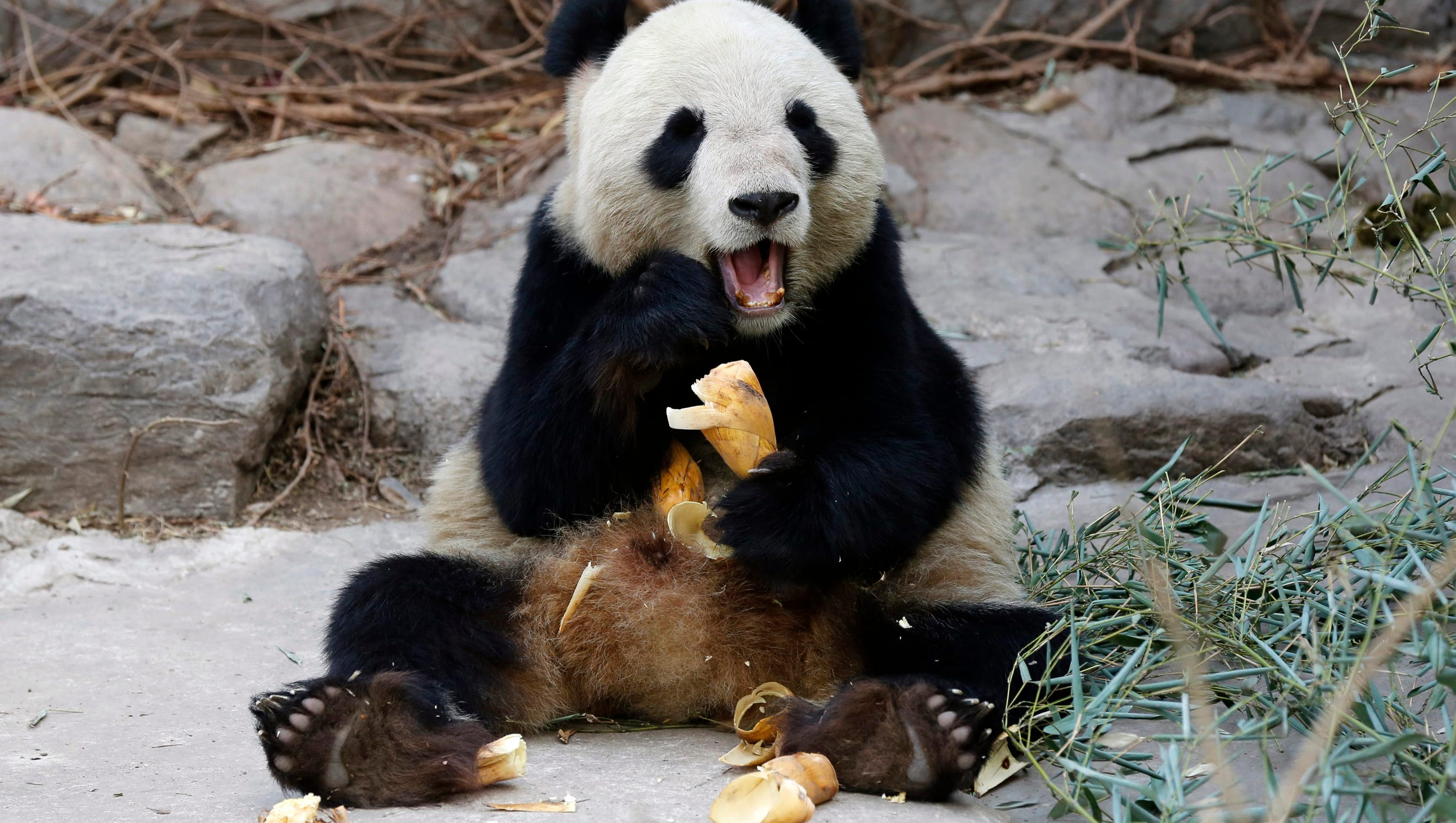 China Fights To Save Giant Pandas From Deadly Virus