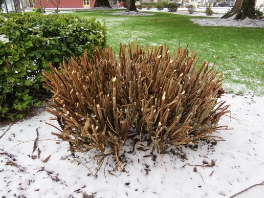 A hydrangea is cut down toward the base. This drastic pruning is fine for newer hydrangea cultivars, but older cultivars will skip a year of blooms as they put out blooms on old wood.