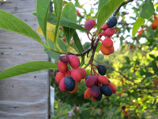 The red and blue fruit of an oso berry shrub is seen on a female plant. Males do not fruit.