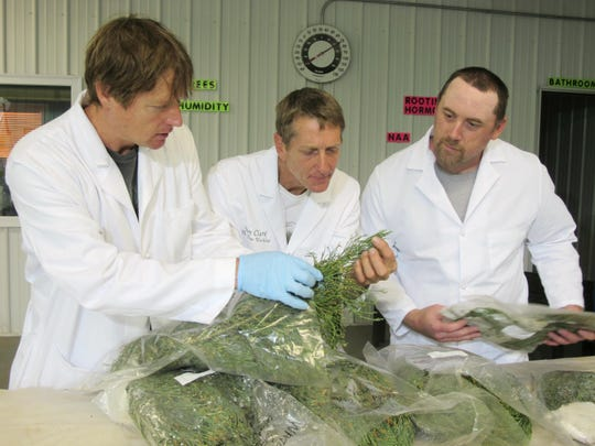 Tom Brodhagen, left, Jim Clark, center, and Chris Moore examine cuttings from giant sequoia trees in the Archangel Ancient Tree Archive laboratory in Copemish, Mich. The cuttings were taken from an Archangel expedition in California and flown to Michigan, where Brodhagen, Clark and Moore snipped off pieces of greenery and planted them in small containers. The goal is to create thousands of giant sequoia clones that will grow large enough to be planted in the wild, helping restore forests and combat climate change.