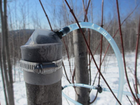 Sap is pumped from a cut and capped maple sapling in spring 2014 at the UVM Proctor Maple Research Center in Underhill.
