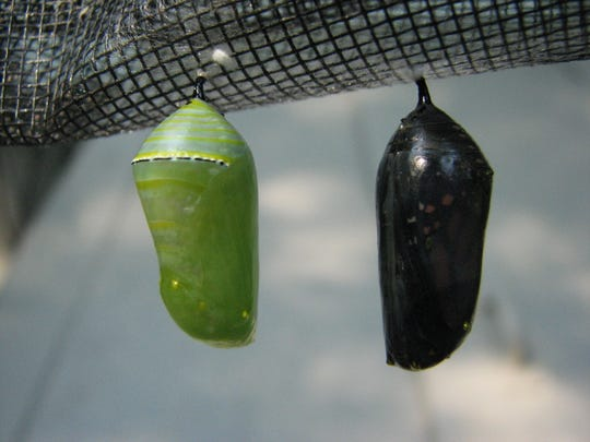 The chrysalises of monarch butterflies are smooth green objects with golden spots, like these at The Ridges Sanctuary. Parts of the future butterfly can be seen if looking closely.