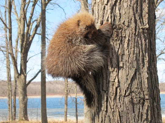 A porcupine climbs a tree at Mille Lacs Kathio State Park. From the ground, the animals appear to be about the size of a squirrel nest.