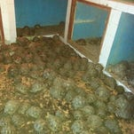 Zoo Knoxville herpetologist going to Madagascar to care for more than 10K confiscated tortoises