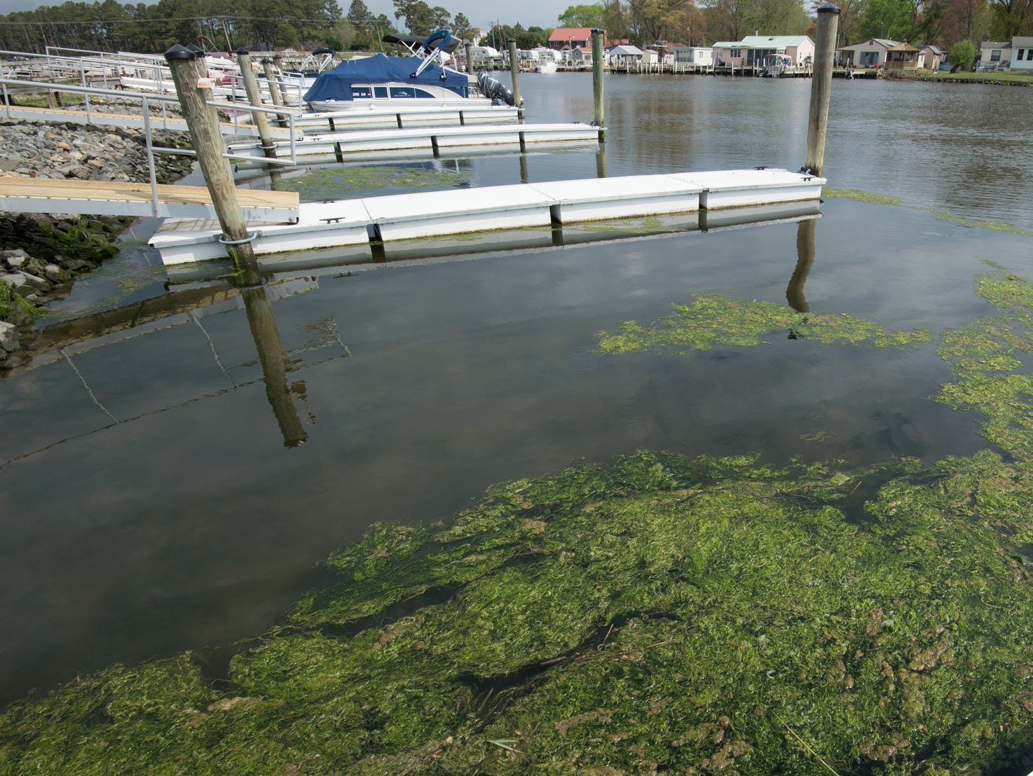 Green algae next to a boat dock at Love Creek Marina in Lewes in April 2017.