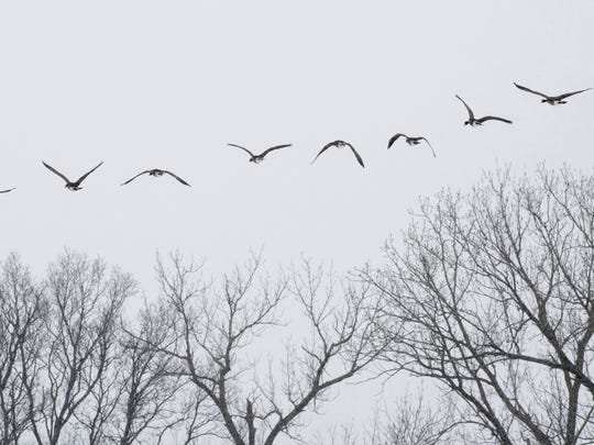 Canada geese take wing from the pond at Garvin Park Monday afternoon.