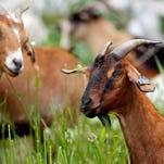 Iowans turning to goats to remove unwanted weeds
