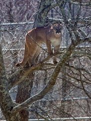 Trinity, a 2-year-old Western cougar, rises to the