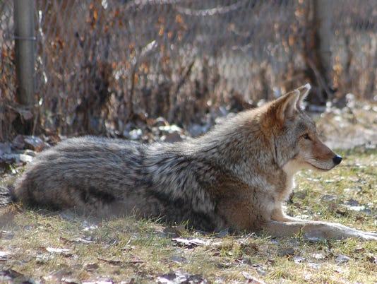 04.26.15 - Coyote at Bay Beach Wildlife Sanctuary.jpg