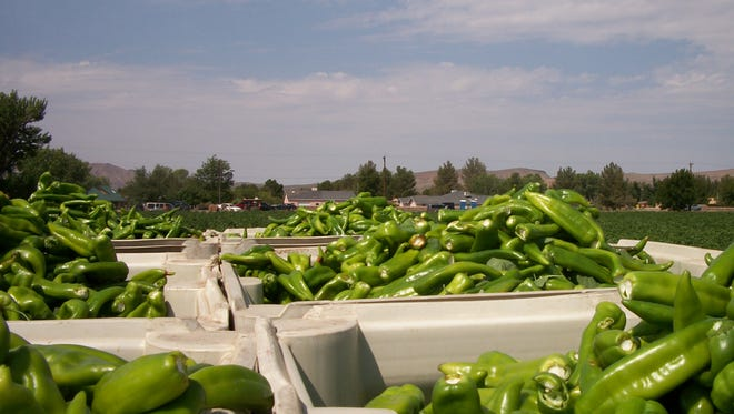 Green Chile is among the top producing specialty crops in New Mexico.