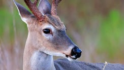 Stock image of a white-tailed deer.