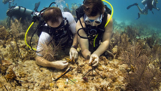 Wounded veterans Billy Costello, left, and Bobby Dove, team up to plant small staghorn corals Monday afternoon (7/20/15) on a reef off of Big Pine Key appropriately named Heroes Reef. Costello, the expedition leader lost his right leg, while Dove, a Green Beret, lost part of his right arm and his right leg. Both are members of the Combat Wounded Veteran Challenge, an organization founded in 2010 to improve the lives of wounded and injured veterans through extreme outdoor activities. During this challenge the veterans teamed up with Mote Marine Laboratory's ongoing coral restoration project.