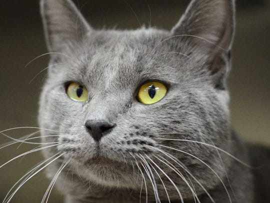 Mike - Male (neutered) domestic short hair, about 2.5