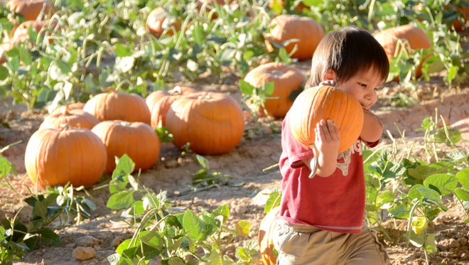 Ryan Baldwin, 2, of Buckeye, picks out a prize pumpkin during last year's  Pumpkin & Chili Party at Schnepf Farms.