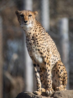 Female cheetah Bibi currenty residing at the Columbus Zoo & Aquarium, February 2020.