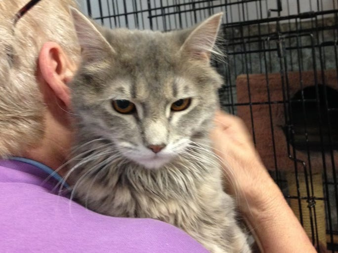Ricky Ricardo is a light gray and white male cat who is 1 year old. He is calm and affectionate, and is spayed and vaccinated. His adoption fee is $60. Apply with Another Chance Animal Welfare League Adoption Center at www.acawl.org. Call 547-7387.