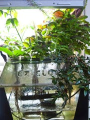 "Vegetation thrives in an EZ-Clone ""aeroponic"" planter"