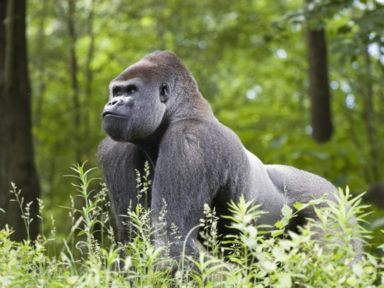 Make silverback gorilla in the forest of central Africa